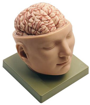 Deluxe Head With Brain Model (Deluxe Brain Model)