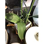 Torre-Tagus-1684-100020-Orchid-Potted-Double-Stem-23-Inch-White