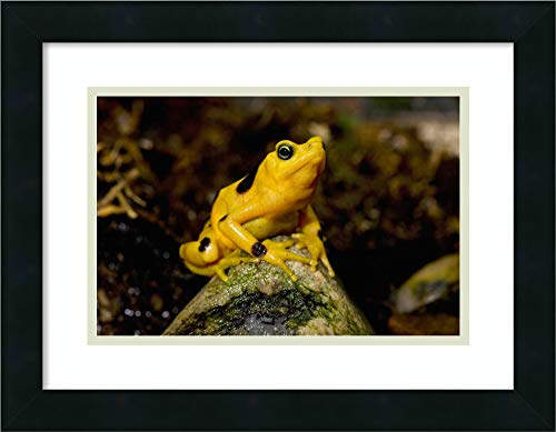 Framed Wall Art Print Panamanian Golden Frog Native to Panama by San Diego Zoo 18.00 x 14.00 (Panamanian Golden Frog)