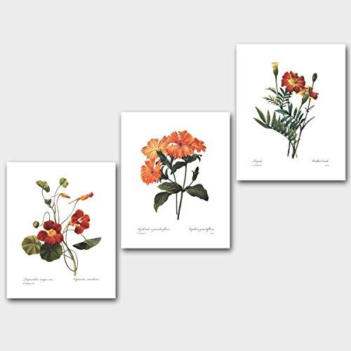 Set of 3 Orange Flower Prints (Botanical Wall Decor, Redoute Marigold Art) Unframed 11x14 inch