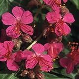 Geranium macrorrhizum 'Bevan's Variety' 15 Seeds Perennial,hardy, fragrant