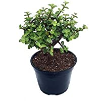 Leafytales Indoor Crassula Good Luck Button Jade Plant with Plastic Pot
