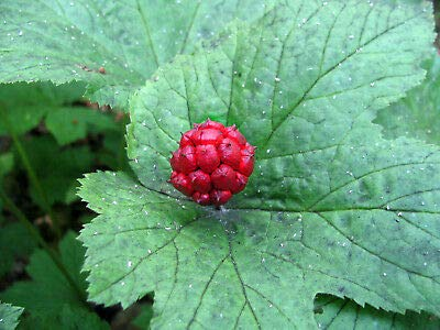 10 Bulbs Goldenseal Hydrastis Canadensis L Plant Beauty NHKM49