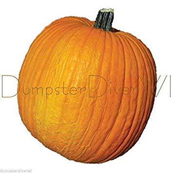 PlenTree Heirloom Connecticut Field Pumpkin Carve & Eat 22 Seeds Organic Non-GMO