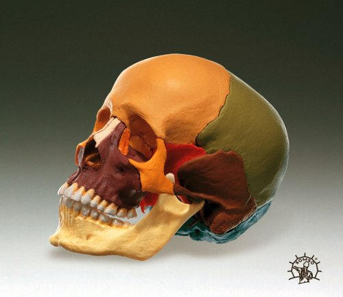 Skull Deluxe Model Snap-together Color Coded (Skull Model Together)