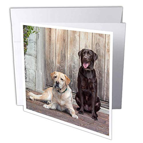 (3dRose Danita Delimont - Dogs - Yellow and Chocolate Labrador Retrievers Sitting on Rock Patio - 12 Greeting Cards with envelopes (gc_314733_2))
