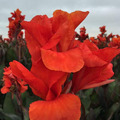 CANNAS-Red King Humbert 3 Per Bag Large 4-6 Eye Bulbs ()