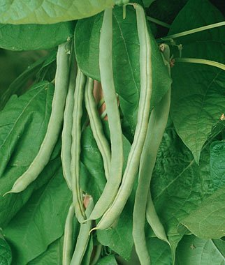 davids-garden-seeds-bean-pole-kentucky-wonder-dgs300544a-green-50-orgnaic-heirloom-seeds