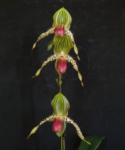 Paph. Vanguard -New OFFERING! Collector's Item! Very Easy to Grow! Stunning- Lady Slipper Orchid Plant by Kawamoto Orchid Nursery