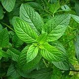 SeeKay Peppermint Appx 2,000 seeds 'Mentha piperita'