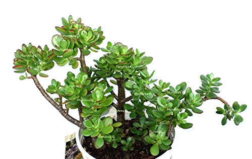 Go Garden Unrooted 4'' 'Mini Jade' Cutting House Plant for sale  Delivered anywhere in Canada