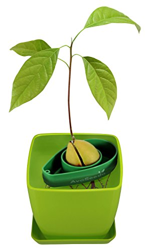 (AvoSeedo Bowl Set Grow Your Own Avocado Tree, Evergreen, Perfect Avocado Tree Growing Kit for Every Avocado Lover with Plan Pot - Green & Green )