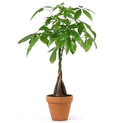"JM Bamboo 5 Money Tree Plants Braided into 1 Tree -Pachira-4"" clay pot for better growth between 10-12 inches tall : Garden & Outdoor"