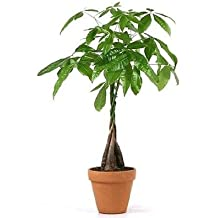 "JM Bamboo 5 Money Tree Plants Braided into 1 Tree -Pachira-4"" clay pot for better growth between 10-12 inches tall"