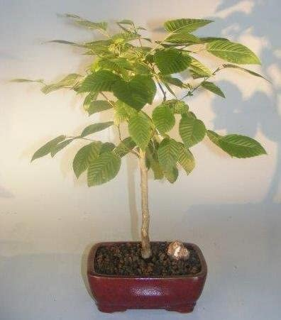 Amazon Com American Hornbeam Bonsai Tree Carpinus Caroliniana Garden Outdoor