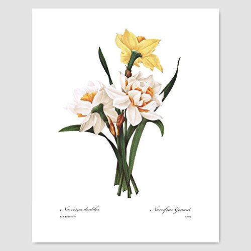 - Daffodil Art (Yellow Wall Decor, Spring Flower Print, Jonquil Botanical) Pierre Redoute - Unframed