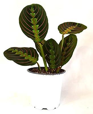 "9GreenBox - Red Prayer Plant - Maranta - Easy to Grow House Plant - 4"" Pot from 9GreenBox"