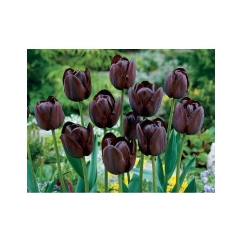 Queen of Night Tulip Flower Seeds 50 Stratisfied Seeds