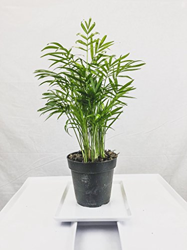 Collection of Five Fantastic Clean Air Plants for Your Home or Office - Beautiful - Florist Quality - Golden Pothos - Parlor Palm - Areca Palm - Asparagus Plumosus - Snake Plant by Florida Foliage (Image #6)