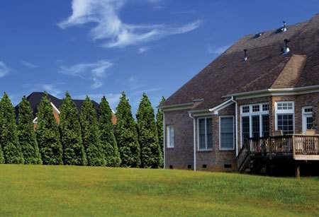 Thuja Green Giant Arborvitae Qty 5 Live Trees Evergreen Privacy - 2'' Container by Florida Foliage (Image #3)