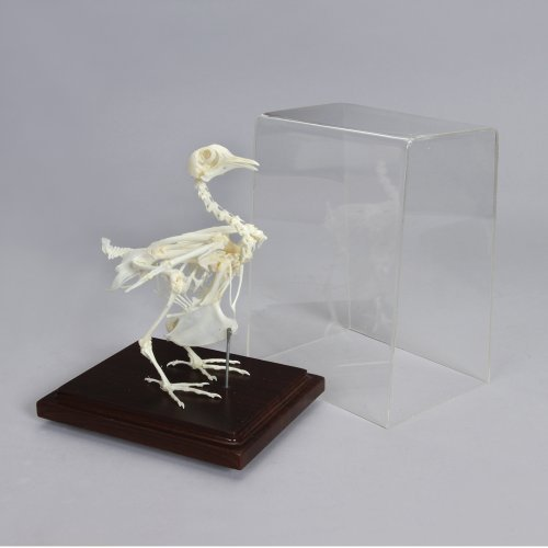 Pigeon Skeleton (Pigeon Skeleton, Articulated)