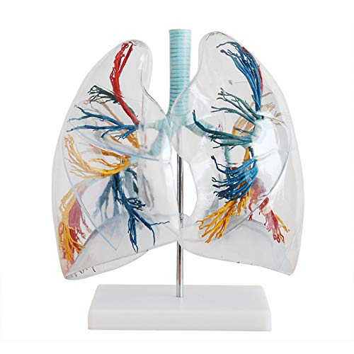 Transparent Human Lung Model, Bronchial Tree Lung Anatomy, Thoracic Surgery Respiratory Model Specimen Medical Anatomical Model Transparent Lung Segments Model Human Lung