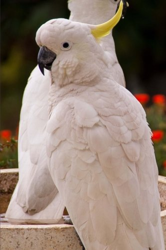 (Two White Sulphur Crested Cockatoo Parrots Bird Journal: 150 Page Lined Notebook/Diary)