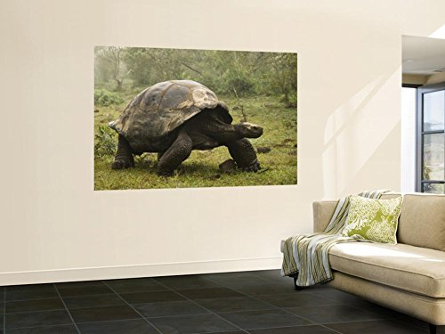 Galapagos Giant Tortoise With Tui De Roy Near Alcedo Volcano, Isabela Island, Galapagos Islands Wall Mural by Pete Oxford 48 x 72in (Volcano Oxford)