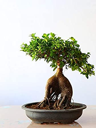 Bonsai Ficus Microcarpa Ginseng By Greenhomecare Bonsai Plants For Gifts Home Decor Bonsai