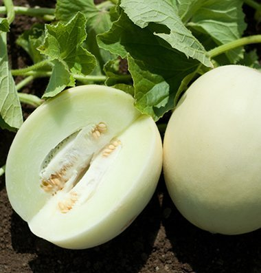 David's Garden Seeds Fruit Melon Honey White D3879EWM (Orange) 25 Hybrid Seeds