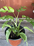 Live Plant - Mini Split Leaf Monstera
