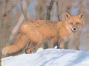 Delta Tru-Life Paper Targets - Fox