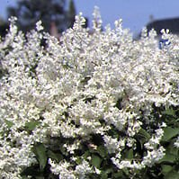 Perennial ~ Silver Lace Vine Seeds ~ Fast (Silver Lace Vine)