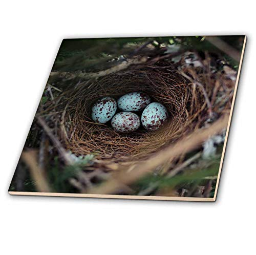 - 3dRose Stamp City - Birds - Photograph of a Mockingbird nest with Four Eggs in Our Leyland Cypress - 6 Inch Ceramic Tile (ct_290762_2)