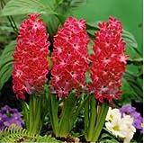 50 Seeds / Pack ,Hyacinth seeds, Hyacinthus Orientalis, it is not hyacinth bulbs Seeds
