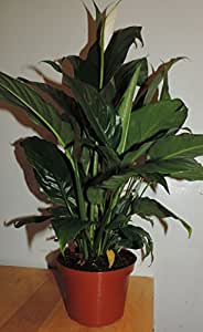 """1-peace Lily Plant - Spathyphyllium - Great House Plant - 6"""" Pot unique -from jmbamboo"""