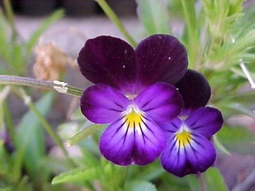 Heirloom Violets (Johnny Jump-up (Viola Tricolor) Violet Flower, 675 Seeds!)