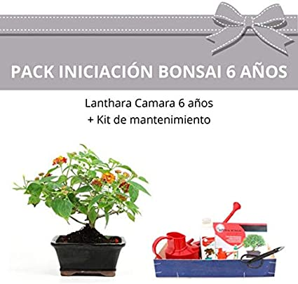 CENTROBONSAI Pack Iniciación Bonsái Lanthara Camara 6 años