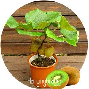 Seed Time-Limit!!Kiwi Fruit Potted Plants Mini Tree Rich Beautiful Bonsai Fruit Trees Kiwi Flores 100 Pcs #6dsdkh