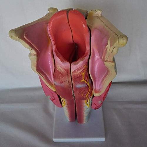 Educational Model Articulatie Simulation Model van het strottenhoofd Human - Vergrote anatomisch model Professional menselijke organen - anatomisch model Medico HHJJ 0923