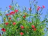 35 RED CYPRESS VINE (Star Glory / Hummingbird Vine) Ipomoea Quamoclit Flower Seeds