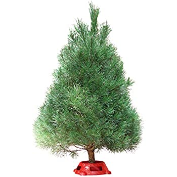 Hallmark Real Christmas Tree, Scotch Pine 3 Foot to 4 Foot, Fresh Cut, Stand Included