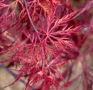 Red Dragon Weeping Lace Leaf Japanese Maple 2 Year Live Plant