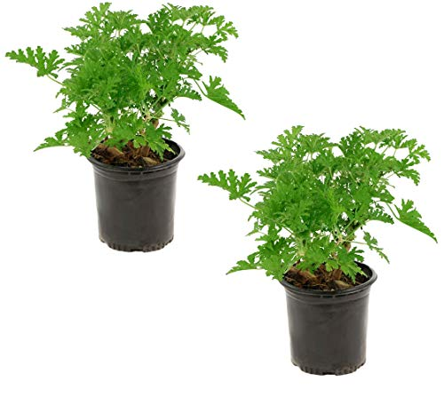 Cottage Hill Citronella Mosquito 2 Piece Live Plant Yellow Blooms by Cottage Hill (Image #3)