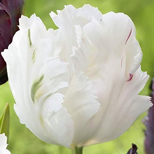 Tulip Parrot, White Parrot (10 Bulbs),12/+cm, Big Blooms Excellent for Bouquets Flowers in Late (Big Tulip)