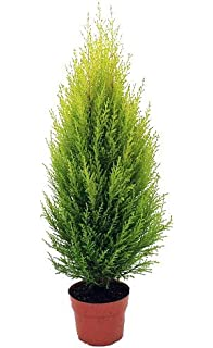 amazon com lemon scented goldcrest cypress tree indoors out