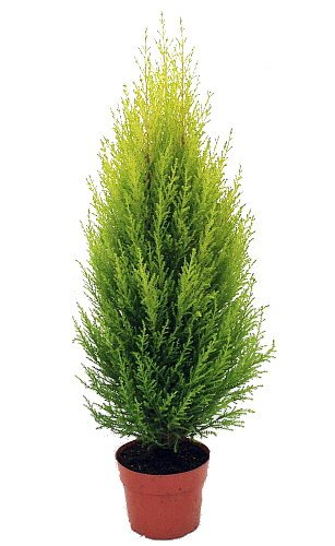 Lemon Scented Goldcrest Cypress Tree - Indoors/Out - 6