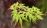 Upright Green Laceleaf 'Seiryu' Japanese Maple 3 - Year Live Plant