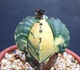 Astrophytum myriostigma cuadricostatum variegated, @ cactus cacti seed 30 SEEDS