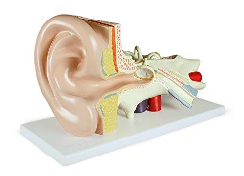 Vision Scientific VAE402-AN Ear Model, 3 Parts, 3x - Diagram Ear Parts